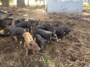 Piglets 03